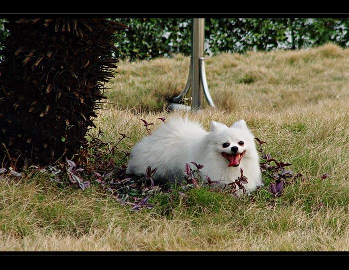 我们家的小狗狗,白色的博美