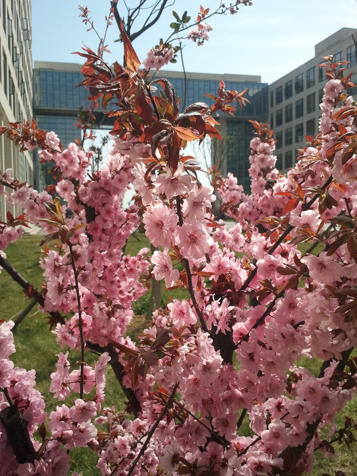 门口的桃树开花了-快乐数码摄影