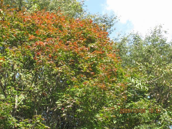 神农架的枫叶。