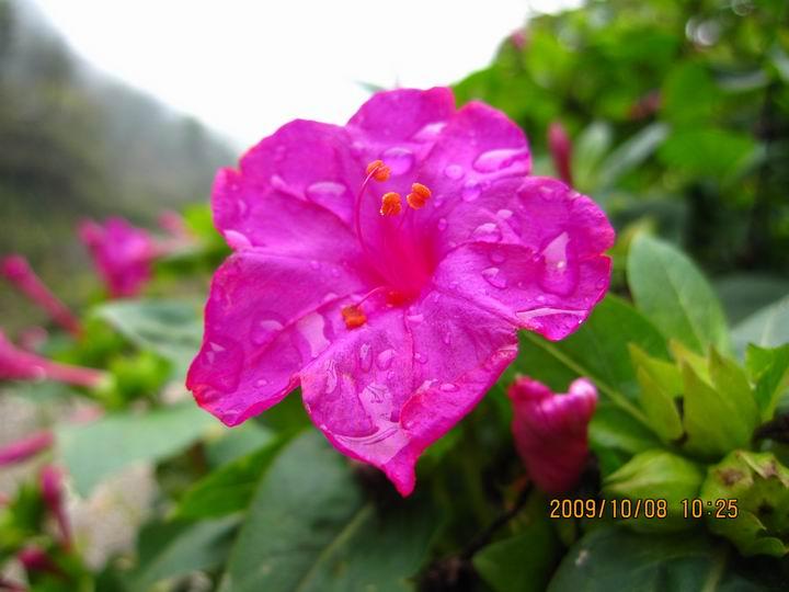 新的一天的胭脂花