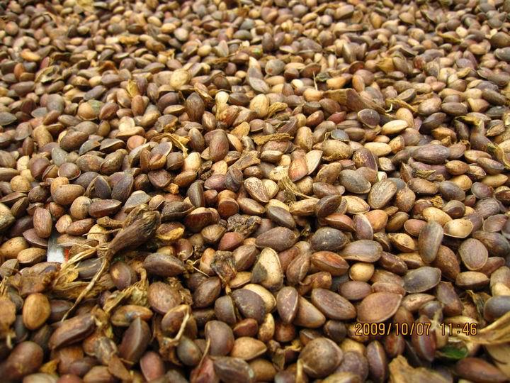 认得吗?大家吃的松籽啊。