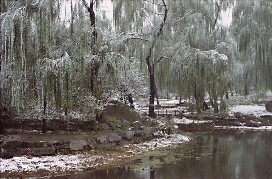 雪中的柳树,还是绿的.